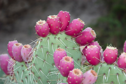 nopal fruit