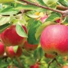 Apple Fruit and Leaf Benefits